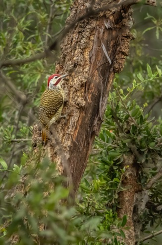 Goldentail Woodpecker