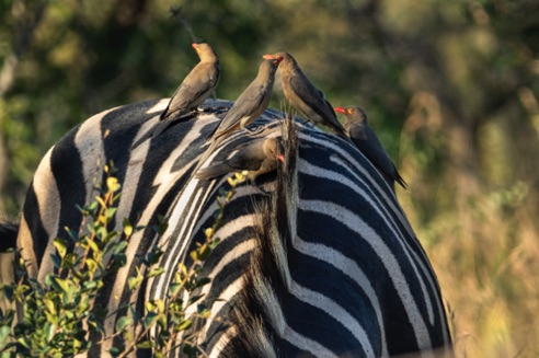Oxpeckers on back of zebra