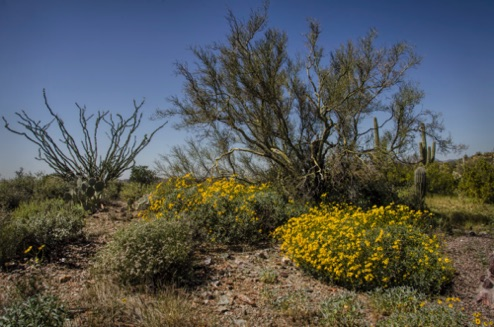 Palo Verde, Ocotillo, and Brittlebush