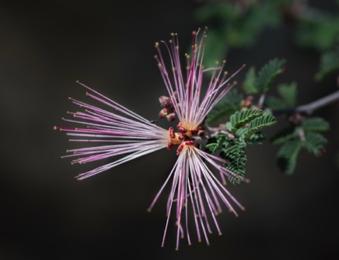 Fairy Duster • Calliandra eriophylla