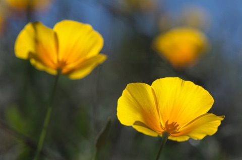 Mexican Gold Poppy • Eschscholzia californica ssp mexicana