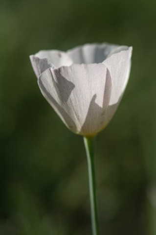 White Mexican Gold Poppy • Eschscholzia californica ssp mexicana