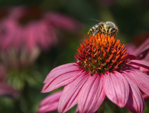 Bee on Echinacea Photographers Edge Photographer of the Quarter April–June 2014