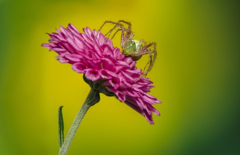 "Green Lynx Spider ""Fur, Feathers, and Fins"" Pacific Art League March 2017"