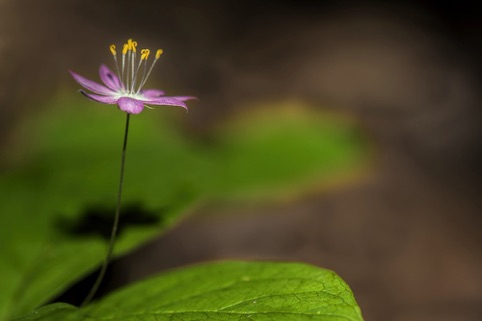 Pacific Star Flower Honorable Mention, 2015 Photo Contest, Midpen. Regional Open Space District