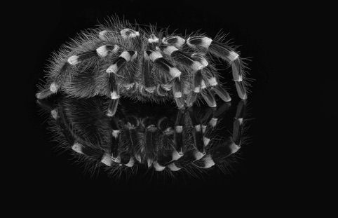 "White Kneed Tarantula ""A New View: A Photography Exhibit"" Pacific Art League November 2016"