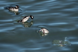 Bufflehead Dive