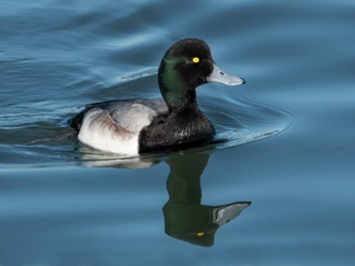 GreaterScaup1SP.jpg