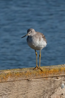 GreaterYellowlegs11S.jpg