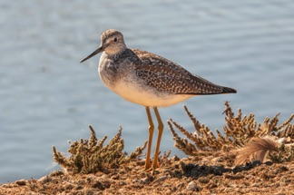 GreaterYellowlegs2S.jpg