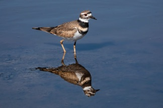 Killdeer1DEA.jpg