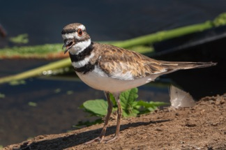 Killdeer2ER.jpg