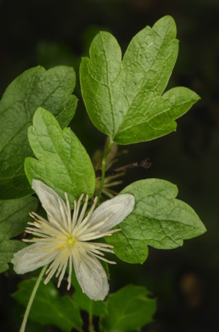 Chaparral Clematis • Clematis lasiantha