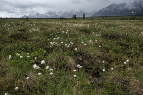 Field of Cottonballs