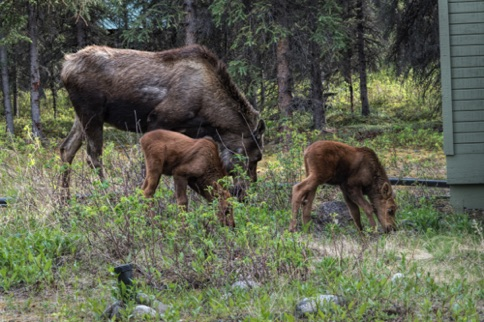 Mother moose with twins among our cabins