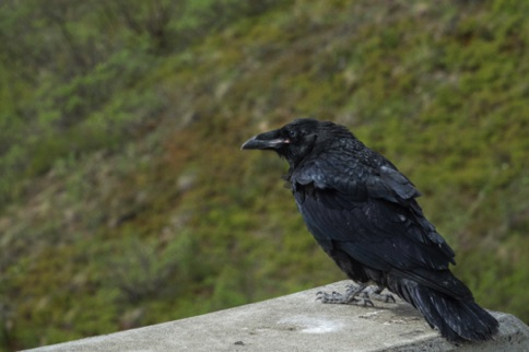 Raven on a bridge