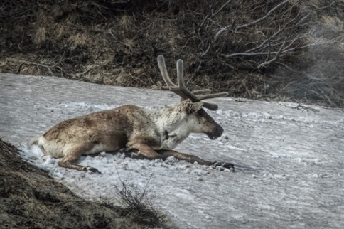 Caribou keeping cool on an ice bank