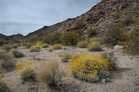 Brittle Bush in dry river bed