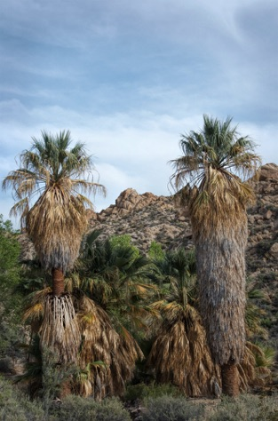 California native palm trees