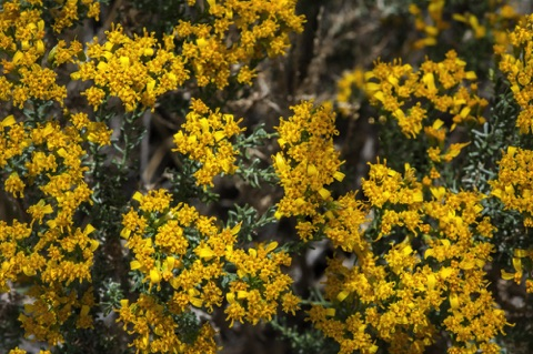 Cliff Goldenbush • Ericameria cuneata