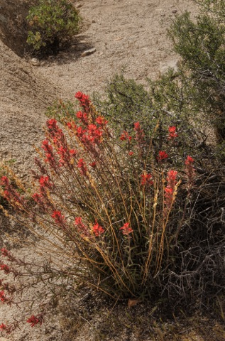 Desert Paintbrush • Castilleja chromosa