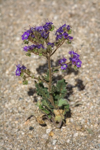 Notch-Leaved Phacelia • Phacelia crenulata