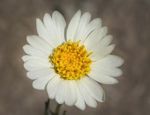 White Tidy Tip • Layia glandulosa • Asteraceae (Sunflower)