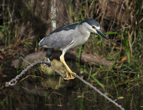 Black Crowned Night Heron • Nycticorax nycticorax