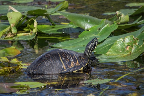 American Red Bellied Turtle • Pseudemys rubriventris