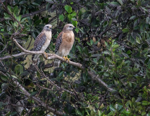 Red Shouldered Hawks • Buteo lineatus