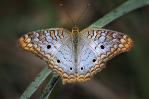White Peacock Butterfly • Anartia jatrophae