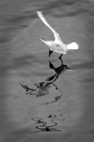 Gull in Motion\