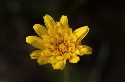 Mountain Dandelion • Agoseris glauca Composite Family