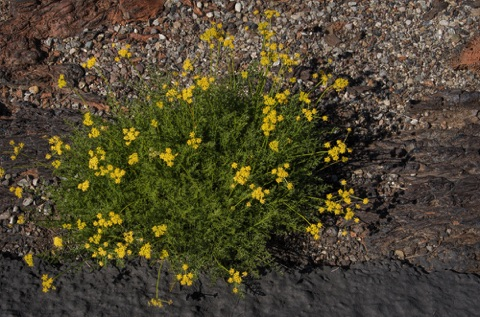 Desert Parsley • Cymopterus teribinthinis Carrot Family