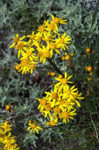 Groundsel • Senecio sp.
