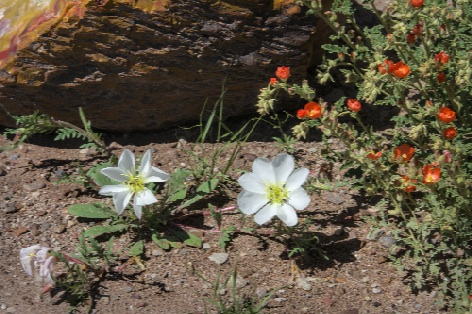 Desert Evening Primrose and Globe Mallow