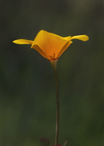 California Poppy • Eschscholzia californica